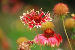 Gaillardia dei fiori fotografia stock