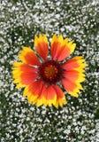 Gaillardia e gypsophila dei fiori. Immagine Stock Libera da Diritti