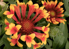 Gaillardia Fanfare flowers in bloom Stock Image