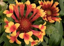Gaillardia Fanfare flowers in bloom stock image