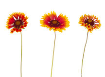 Gaillardia flower Stock Photo