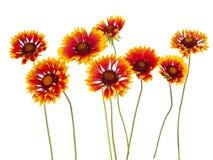 Gaillardia flower Stock Image