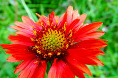 Gaillardia Flower. Beautiful portrait of Gaillardia Flower  is a genus of flowering plants of the sunflower family.  The name may refer to the resemblance of the Royalty Free Stock Images