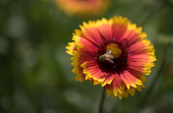 Gaillardia flower and bee Royalty Free Stock Image