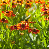 Gaillardia flower close up Stock Photography