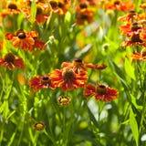 Gaillardia flower close up Stock Photography