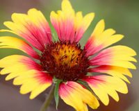 Gaillardia flower. Closeup showing beautiful center with red extending out to a bright yellow petal Royalty Free Stock Image