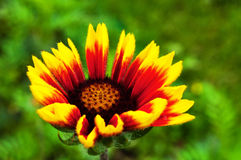 Gaillardia flower Royalty Free Stock Image