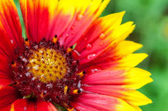 Gaillardia flower Royalty Free Stock Images