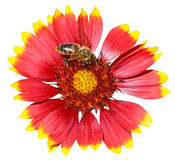 Gaillardia flower with honey bee isolated Royalty Free Stock Photo