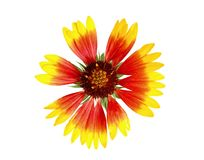 Gaillardia flower isolated Royalty Free Stock Photo