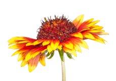 Gaillardia flower Royalty Free Stock Photo