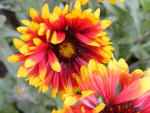 Gaillardia. A flower power with a super color of orange and yellow  petals Royalty Free Stock Images
