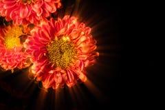 Gaillardia Flower Raydom Royalty Free Stock Photo