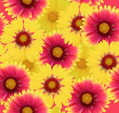 Gaillardia flowers background Stock Images