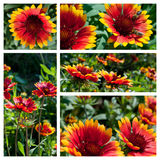 Gaillardia flowers collage Stock Image