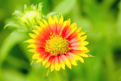 Gaillardia flowers with multiple colors and bright colors Stock Images