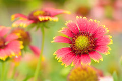 Gaillardia flowers with multiple colors and bright colors Royalty Free Stock Photography