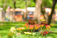 Gaillardia flowers with multiple colors and bright colors Stock Photos