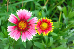 Gaillardia flowers with multiple colors and bright colors Stock Photography