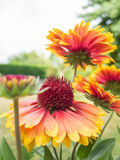 Gaillardia Flowers Royalty Free Stock Photography