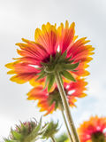 Gaillardia Flowers Stock Photos