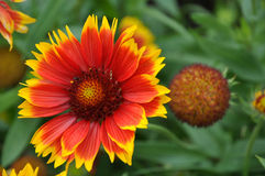 Gaillardia grandiflora Stock Photos