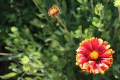 Gaillardia grandiflora Foto de Stock Royalty Free