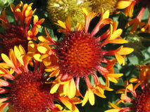 Gaillardia Grandiflora Blanket Flower. Attracts butterflys, trumpet shaped flowers, perennial, Gaillardia grandiflora, blanket flower blanketflower, red orange royalty free stock photo