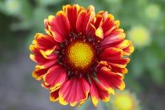 Gaillardia grandiflora Stock Image