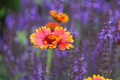 Gaillardia indiana Fotografie Stock
