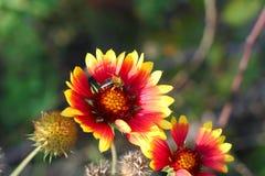 Gaillardia o flor combinada Fotos de archivo libres de regalías