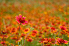 Gaillardia pulchella Royalty Free Stock Images