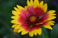 Gaillardia pulchella Blume Stockfotos