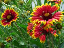Gaillardia pulchella firewheel, Indian blanket, Indian blanketflower, or sundance. Red and yellow daisy. Gaillardia pulchella firewheel, Indian blanket, Indian stock photography