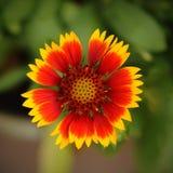 Gaillardia pulchella Foug, Blanket Flower Royalty Free Stock Photography