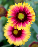 Gaillardia pulchella `Picta`. The bright yellow and red flowers of Gaillardia pulchella `Picta` also known as Blanket Flower. It is a short lived perennial plant Royalty Free Stock Image