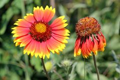 Gaillardia Royalty Free Stock Image