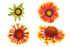 Gaillardia selection Stock Photography