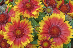 Gaillardia x grandiflora  Blanket flower Stock Photo