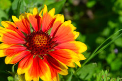 Gaillardia Royalty Free Stock Images