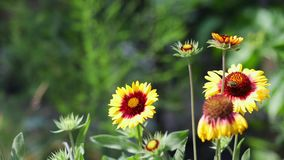 Gaillardia - yellow and red flowers on a blurred background. Summer garden stock video footage