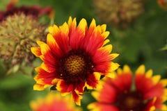 Gaillardiaaristata royalty-vrije stock foto's