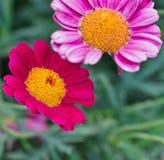 Gaillardie a primavera in Provenza fotografia stock