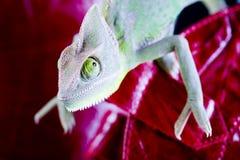 Gaine et caméléon rouges photo stock