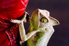 Gaine et caméléon rouges image stock
