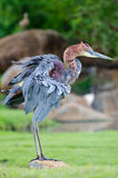 Gaint Heron dusting feathers Royalty Free Stock Image