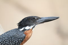 Gaint Kingfisher Royalty Free Stock Images