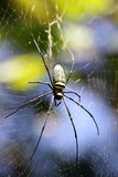 Gaint Long jawed Orb weaver stock images