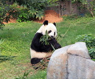 Gaint Panda Eating Bamboo Leaves Royalty Free Stock Photo